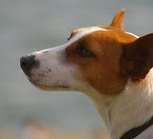 Jack Russell by Clare101