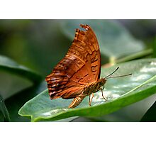 Cruiser Butterfly  II Photographic Print