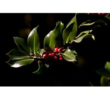 Holly bush Photographic Print