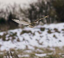 Short eared owl 8 by Ashley Beolens