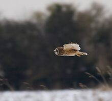 Short eared owl 9 by Ashley Beolens
