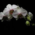 orchid by Gaspare De Stefano