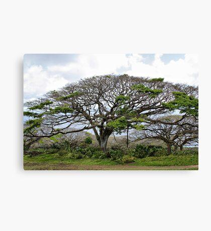 Monkey Pod Tree Canvas Print