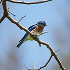 Bluebird by Lucy Hollis