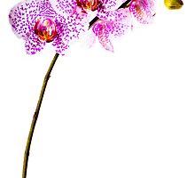 phalaenopsis orchid by peterwey