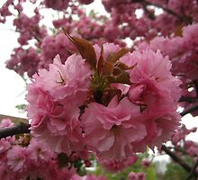 Cherry Blossoms by maxy