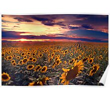 Sunflowers and Colorado Sunsets  Poster