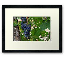 Wine Grapes, Margaret River, Western Australia.  Framed Print