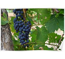 Wine Grapes, Margaret River, Western Australia.  Poster