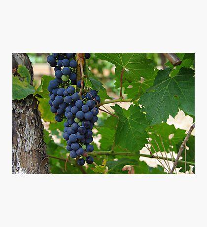 Wine Grapes, Margaret River, Western Australia.  Photographic Print