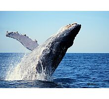 A breaching Whale Photographic Print