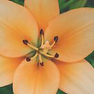Tiger Lily by Bethany Helzer
