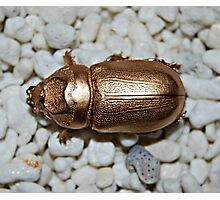 Golden bug Photographic Print
