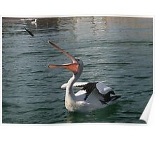 Pelican Catching Thrown Fish Poster