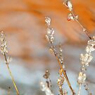 Iced Winter Lavender.. by Kate Towers IPA