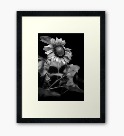 Sunflower Without Sun Framed Print