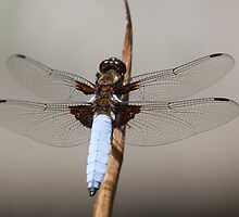 Broad bodied chaser male (Libellula depressa) by DragonflyHunter