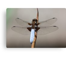 Broad bodied chaser male (Libellula depressa) Canvas Print