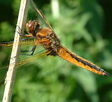 Scarce Chaser female/teneral ( Libellula fulva) by DragonflyHunter