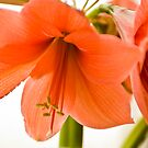 Orange Love by Nala