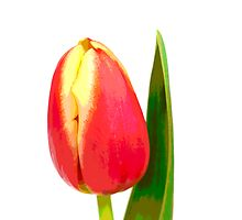 Red and yellow tulip, pop art by Ashley Beolens