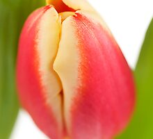 Red and yellow tulip, leaf surround by Ashley Beolens