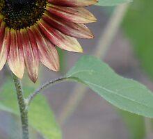 Sun flower by Bridget Vander Veen