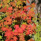 Glorious Fall Leaves * by Laurel Talabere