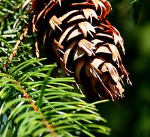 Fir Cone by Laurel Talabere