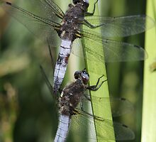 Two males, Scarce chaser, sharing a twig.(Libellula fulva) by DragonflyHunter