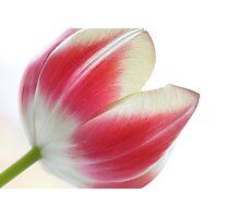 Shining tulip Photographic Print