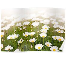 White herb camomiles clump Poster