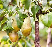 Pear tree ripe fruits cluster  by Arletta Cwalina