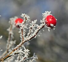 Red berries in snow by Stefanie Köppler