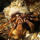 Hermit Crab by Greg Amptman