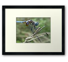 Blue Dasher Framed Print