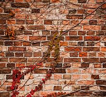 Red ivy hedge creeper on wall by Arletta Cwalina
