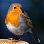 European Robin by Roger Butterfield