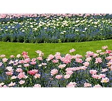 Pink Foxtrot tulips with blue flowers Photographic Print