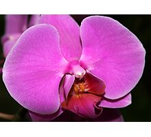 Pink-lavender Moth Orchid Photographic Print