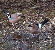 Two Jays by Sharon Perrett