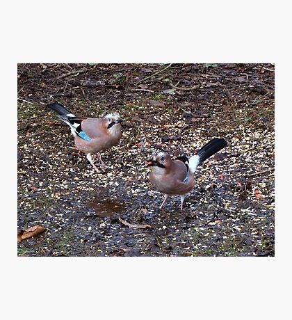 Two Jays Photographic Print