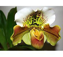 Green & White Orchid (paphiopedilum) Photographic Print