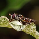 Hover Fly At Rest by FASImages