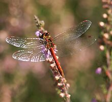 Common Darter male (Sympetrum striolatum) by DragonflyHunter