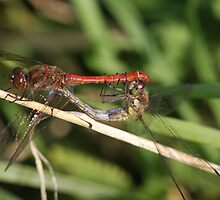 Pair Common dartets in mating wheel ( Sympetrum striolatum) by DragonflyHunter