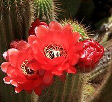 Flowering Cactus by aidan  moran