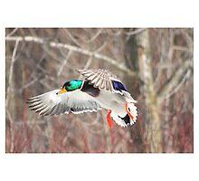 Mallard flying by jvphoto