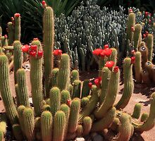 Flowering African Cactus by aidan  moran