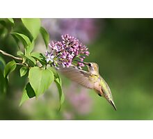 Lilac Hummingbird Photographic Print